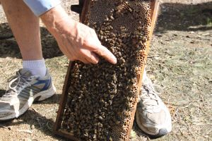Bees on Keswick Island - Accommodation Cooktown